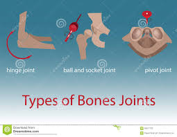 Joints Human Anatomy Bones Joints Stock Vector Image 59217722