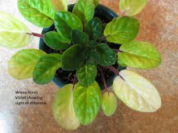 african violet grow light wiese acres chlorosis in african violets