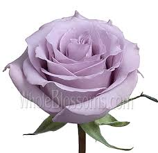 purple roses for sale wholesale lavender roses buy lavender roses song lavender
