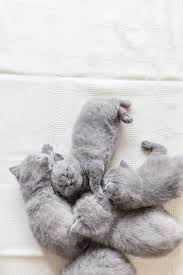 sleeping on short hair lovely grey baby cats sleeping british shorthair stock photo