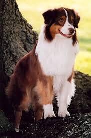 south florida australian shepherd sydney 10 years old black bi australian shepherd the best dog