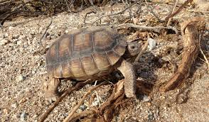 desert tortoise u2014 halcyon environmental