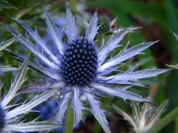 5 favorites garden friendly thistles sea thistles and blue