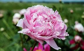 Peony Flower Free Photo Peony Flower Blossom Bloom Free Image On Pixabay
