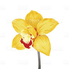Yellow Orchid Yellow Moth Orchid Clipart Clipground