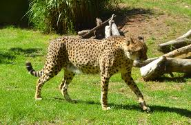 facts about cheetahs for kids yourkidsplanet com