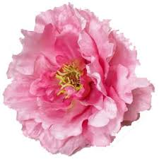 pianese flowers grower direct flower varieties peony