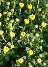 5 reasons to plant garden mums garden in delight