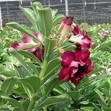 Tropical Plants Pictures - desert rose costa farms