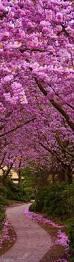 best 10 japanese cherry blossoms ideas on pinterest cherry