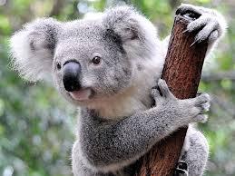 wombat marsupial britannica