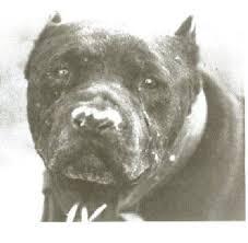 american pitbull terrier game bred bloodlines plumber s ch alligator game dog history gamedog magazines