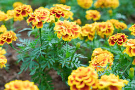 Plants That Repel Aphids by 9 Mosquito Repellent Plants You Can Put In Your Outdoor Space