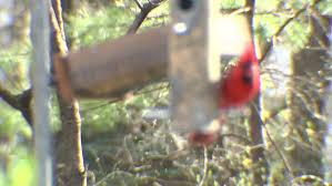 a female cardinal perched and feeding on a backyard bird feeder on