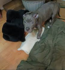 2 month old american pitbull terrier stinkin u0027 cute pittie puppy 2 months old pitbull blue