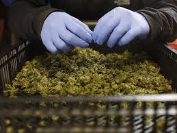 Wildfire Weed by There U0027s Way Too Much Weed In California Business Insider