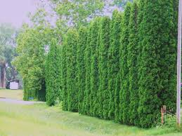 Backyard Trees Landscaping Ideas by Privacy Trees Arborvitae Providing Some Real Dense And Tall