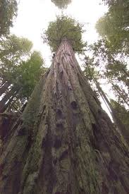 ten thousand trees coastal redwood tallest trees in the world