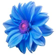 blue flower blue flower dahlia white isolated background with clipping path
