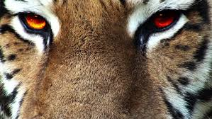 tiger with artificial colored progressive apple