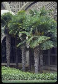 ornamental palms for central florida figure 27 trachycarpus