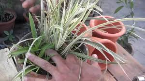 how to grow spider plant plants for the office indoor plant