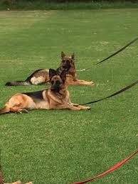 belgian shepherd south africa s a alsatian shepherd dog club welcome to our club