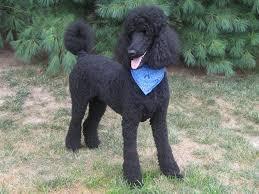 standard poodle hair styles img 7582 jpg 991 x 743 77 poodle style pinterest poodle