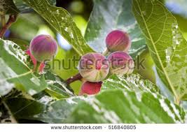 fig tree stock images royalty free images vectors