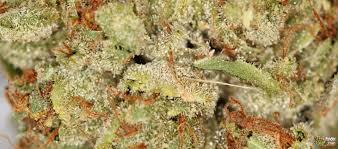 marijuana trichomes gucci trichomes nugs marijuana blog thc finder dispensaries