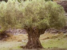 tell me a story the olive tree