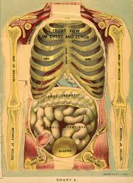 Human Body Chest Anatomy Muscles Of The Trunk Of The Human Body