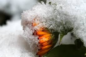 free images branch blossom winter leaf bloom frost weather