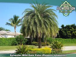 sylvester palm tree sale sylvester date palm groundworks palm station