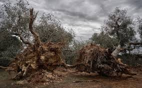 spain must raze all vegetation on mallorca to combat olive tree