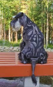 schnauzers hair cuts miniature schnauzer smart and obedient dog mini schnauzer and