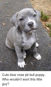 Pitbull Puppy Meme - cute blue nose pit bull puppy who wouldn t want this little guy