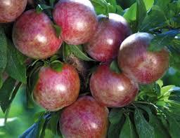 mail order fruit fruit trees county nursery