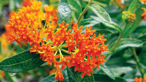 12 Best Plants That Can by Best Flowers For Bees U0026 Butterflies Sunset