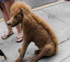 standard poodle hair styles standard poodle haircuts