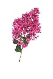 our favorite crepe myrtle varieties southern living