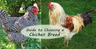 Guide To Raising Backyard Chickens by Guide To Choosing Chicken Breeds Pick The Best Breeds For Your