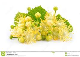 linden flower linden flowers stock photo image 31153570