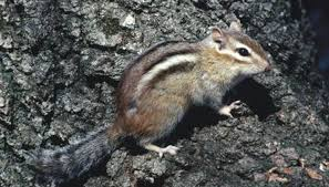 mating habits chipmunks animals mom