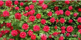 roses for sale 30 hot sale 100 seeds climbing seeds plants spend