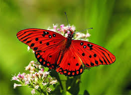 Butterfly Flower Beautiful Red Butterfly With Black Dots On A Flower