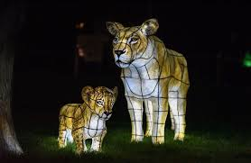 the lanterns at chester zoo manchester evening news