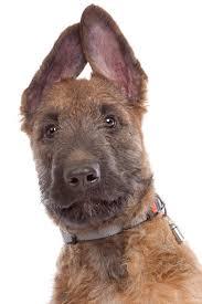 belgian shepherd uk belgian shepherd dog laekenois dogs breed information omlet