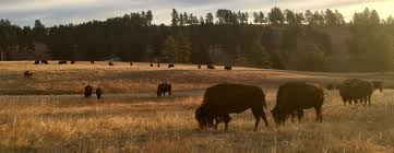 South Dakota Travel Manager images South dakota where the buffalo roam black hills travel blog jpg