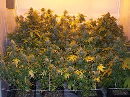 chambre de culture 1m2 culture du cannabis en pots de terre du growshop alchimia